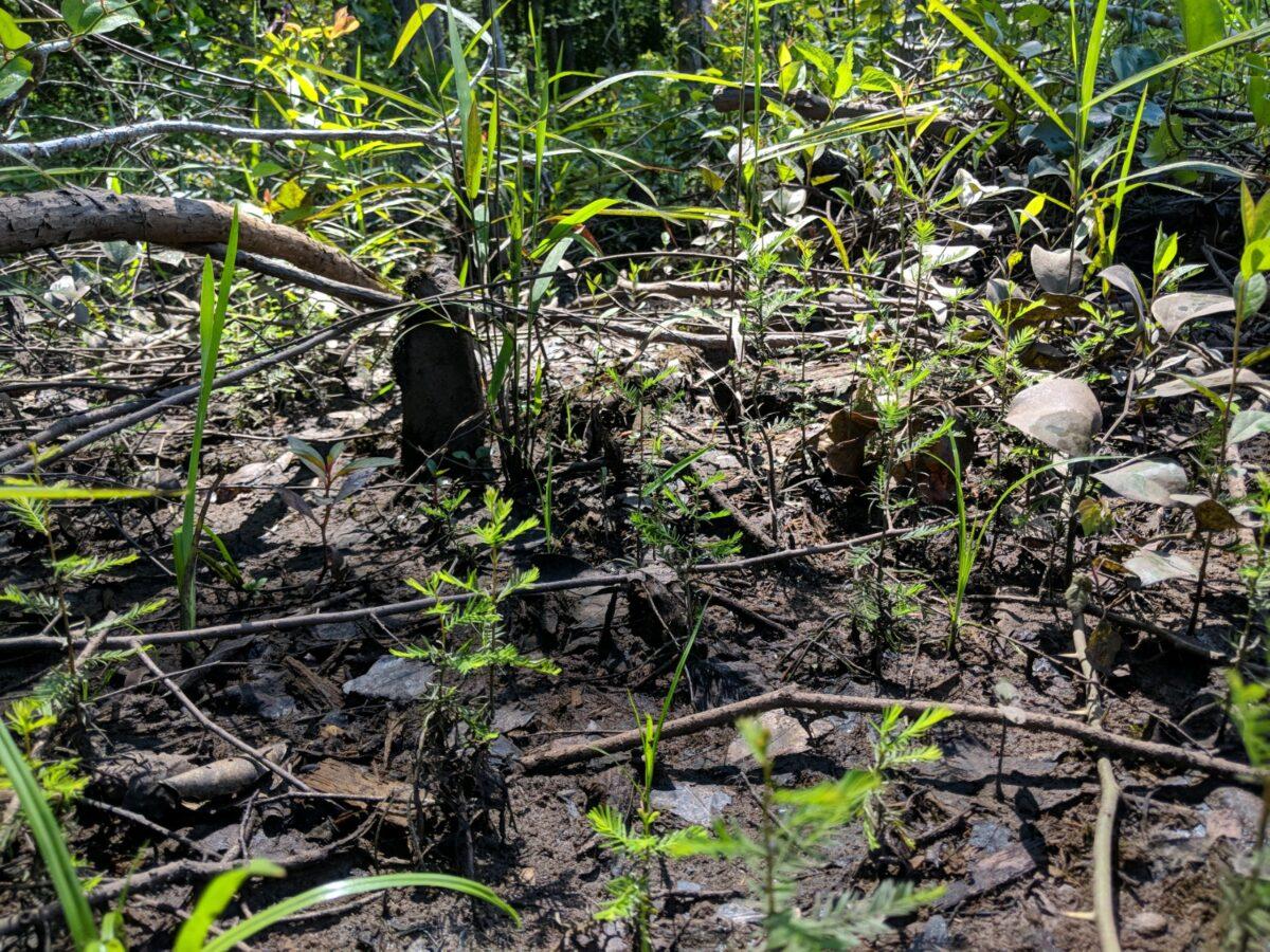Cypress Regeneration