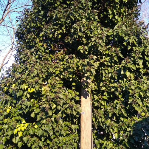 Field Notes: January's Least Wanted - English Ivy