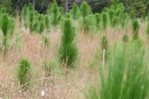 Reforestation of Timberlands Program - 50 Years Strong!