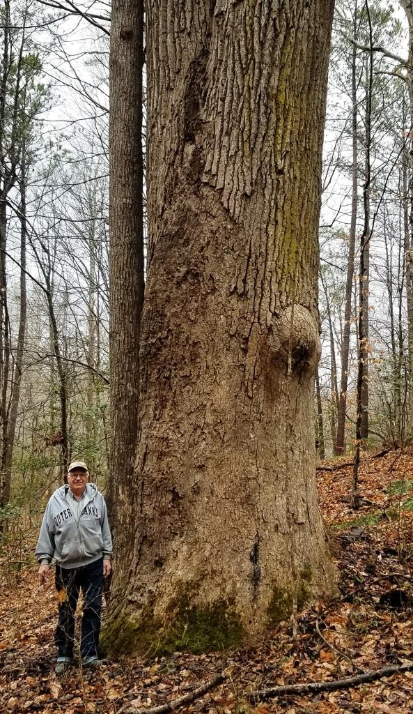 Wezensky poplar